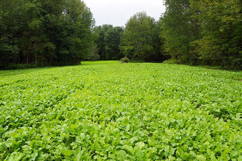 Brassica Food Plot