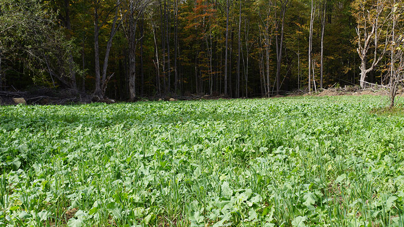 Best Food Plots For Deer To Plant In August