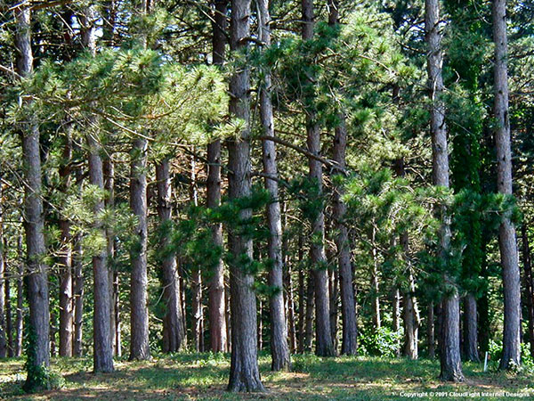 Building deep woods food plots in pines and hardwoods by Pine tree timber